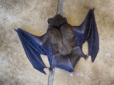 Por qué no debemos culpar a los murciélagos de la pandemia de COVID-19